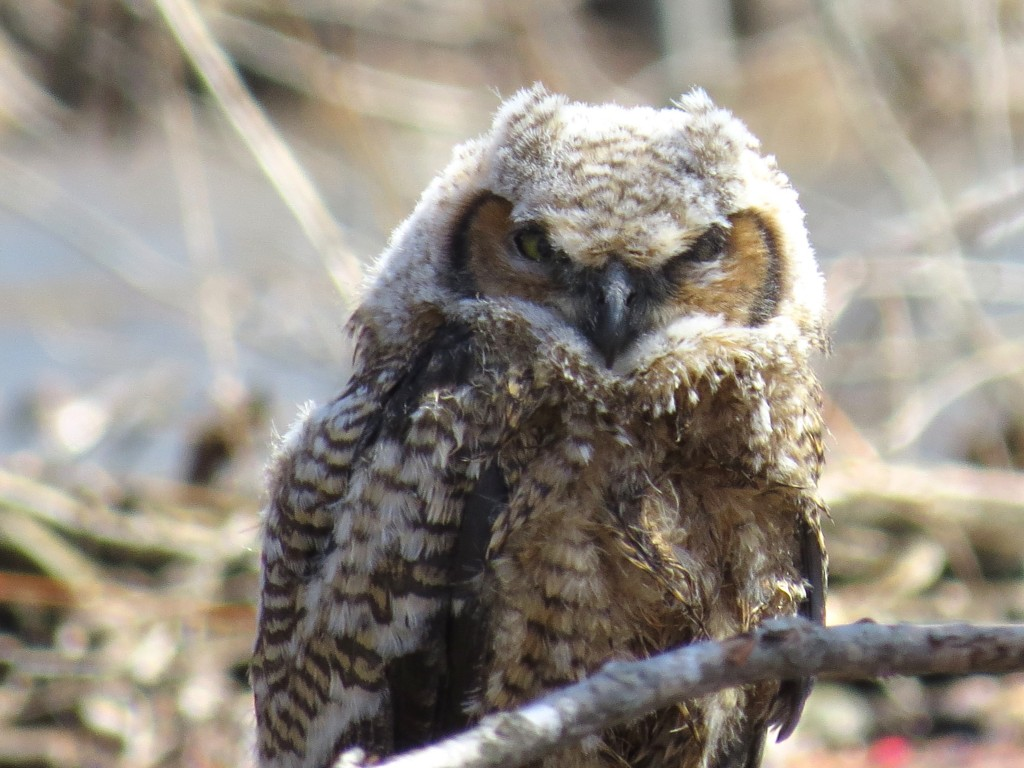 Great Horned Owl 6 Body.jpg