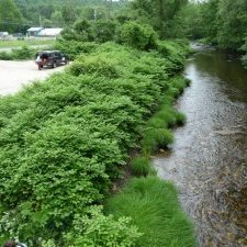 Knotweed downstream from Skinnerville Bridge June 2010. Lincoln Fish photo